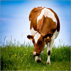 Gallery print  Cow on pasture