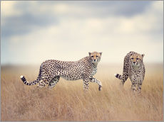Wall sticker  Cheetahs on the hunt