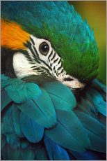 Gallery print  Parrot in Plumage