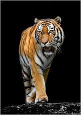Gallery print  Male tiger