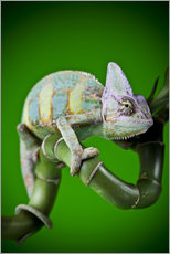 Gallery print  green chameleon on bamboo