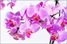 Gallery print  Beautiful pink-magenta orchid