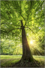 Gallery print  Tree trunk of a beech with sunbeams - Jan Christopher Becke