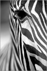 Gallery print  Face of a zebra