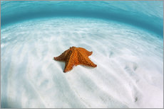 Gallery print  A West Indian starfish on the seafloor in Turneffe Atoll, Belize. - Ethan Daniels