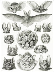 Gallery print  Bats (Forms of nature, graphic 67) - Ernst Haeckel