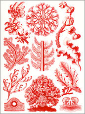 Wall sticker  Red algae and sea grass or Florideae - Ernst Haeckel