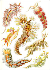 Wall sticker  Nudibranches, artistic forms of nature, design 43. - Ernst Haeckel