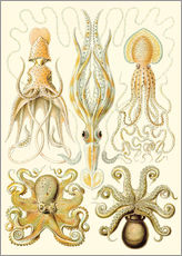 Wall sticker  Squid and octopi - Ernst Haeckel