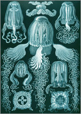 Gallery print  Cubomedusae or box jellyfish - Ernst Haeckel