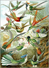 Wall sticker  Trochilidae hummingbirds - Ernst Haeckel
