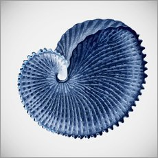 Gallery Print  Seashell - Mandy Reinmuth