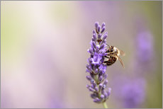 Gallery print  Lavender in summer - Nailia Schwarz