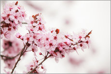 Gallery print  Cherry blossoms