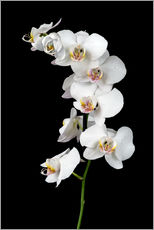 Wall sticker  White orchid on a black background