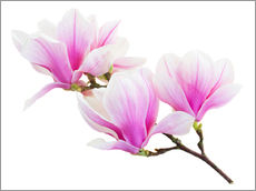 Wall sticker  Branch of pink magnolia