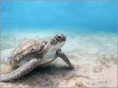 Gallery print  Green sea turtle
