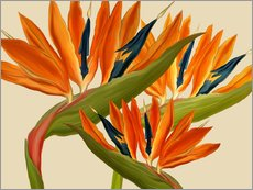 Gallery print  Bird of Paradise - Mandy Reinmuth