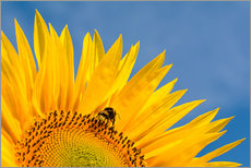 Gallery print  Sunflower against blue sky - Edith Albuschat