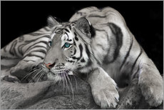 Gallery print  Curious tiger
