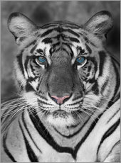 Wall sticker  Tiger portrait with colour accents