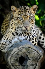 Gallery print  African Leopard