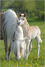 Gallery print  Haflinger horse foal beside its mother - Katho Menden