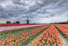Gallery print  Multicolored tulips and windmill - Roberto Sysa Moiola