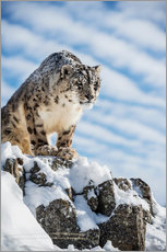 Wall sticker  Snow leopard (Panthera india) - Janette Hill