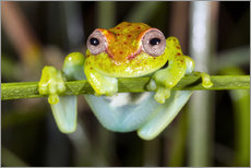 Wall Stickers  Neotropical Spotted Treefrog, Ecuador - Morley Read
