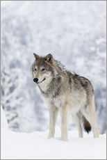 Wall sticker  Tundra Wolf in snow - Doug Lindstrand