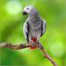 Gallery print  African Grey Parrot