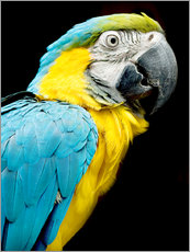 Gallery print  beautiful Blue and yellow macaw