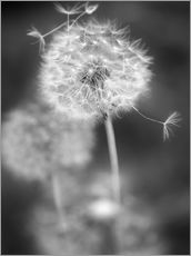 Wall sticker  Dandelion (black/white) - Julia Delgado