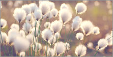 Gallery print  Cottongrass - Julia Delgado