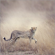 Gallery Print  Cheetah on the hunt