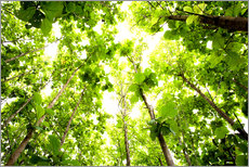 Gallery Print  Green Tree Canopy