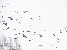 Gallery print  Flock of birds