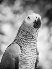 African grey Parrot in gray