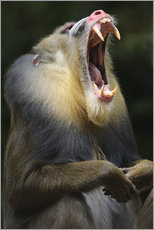 Wall sticker  Mandrill with open mouth - Andreas Keil