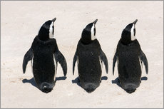 Wall sticker  Three African penguins - Catharina Lux