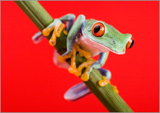 Gallery print  Tree frog on red