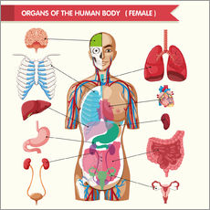 Gallery Print  Organs of the female body