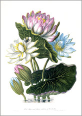 Gallery print  Red, Blue, and White Lotus, of Hindostan - James Forbes