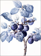 Wall sticker  Branch of a plum with fruits - Pierre Joseph Redouté