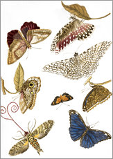 Gallery print  Moths and butterfiles - Maria Sibylla Merian