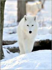 Wall sticker  Beautiful white wolf in the winter