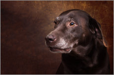 Gallery print  Old Chocolate Labrador Portrait - Janina Bürger