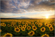 Wall sticker  Sunflower in the summer - Steffen Gierok