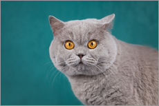 Gallery print  Imposing British short-haired cat - Janina Bürger